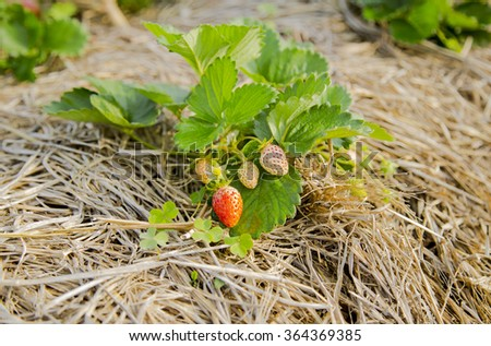 Bush of fresh red strawberry in field