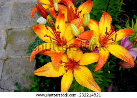 Bush of orange lilies in a summer garden - stock photo