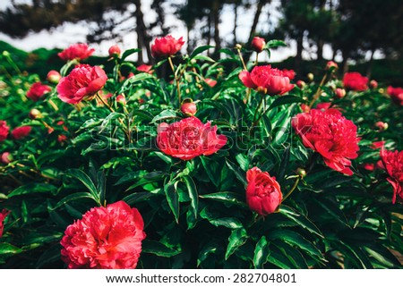 Bush of peony flowers with buds in the spring garden - stock photo