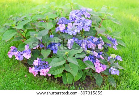 Bush of purple flowers in the green grass in the morning rays, selective focus - stock photo