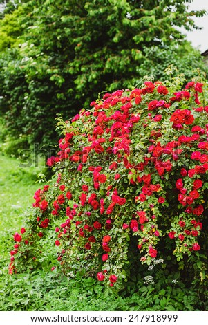 bush of red roses in the garden