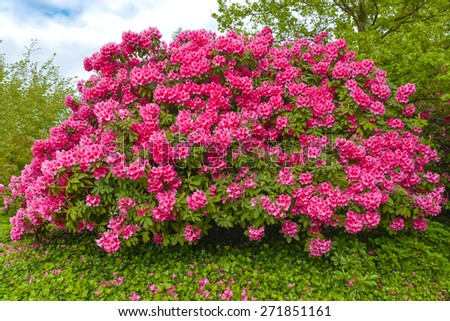 Bush of Rhododendron flowers - stock photo