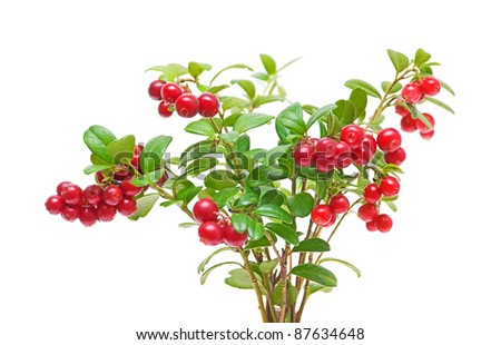 bush of ripe cranberries closeup on white background