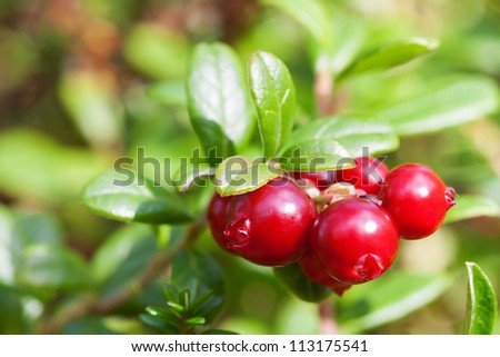 Bush of ripe forest cranberries close-up - stock photo