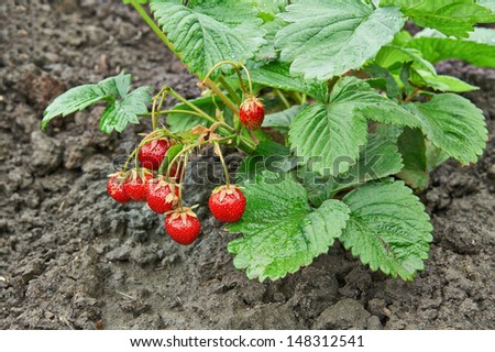 Bush of ripe strawberry growing in a garden. Closeup - stock photo