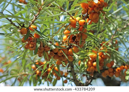 Bush of sea-buckthorn with ripe berries, close-up - stock photo
