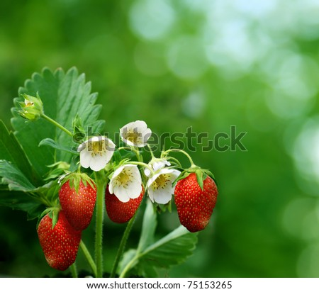 bush of strawberry - stock photo