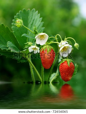 bush of strawberry reflecting in the water - stock photo