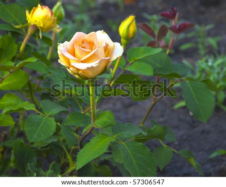 bush of the yellow rose in natural kind