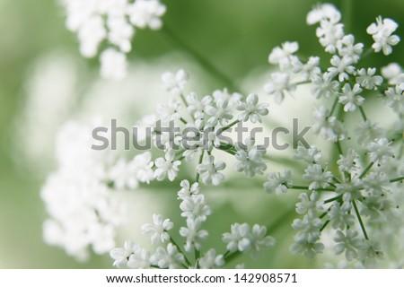 bush of white flowers - stock photo