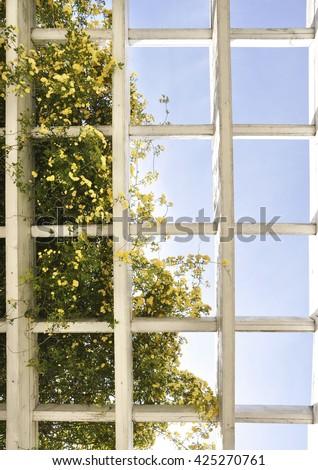Bush of yellow roses on lattice background and blue sky - stock photo