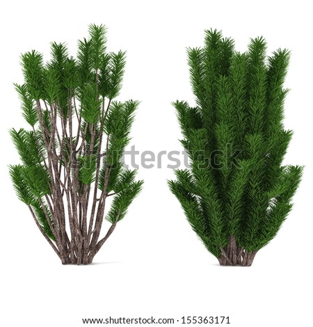 Bush pine isolated. - stock photo