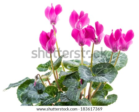 bush pink flower cyclamen isolated on white background - stock photo