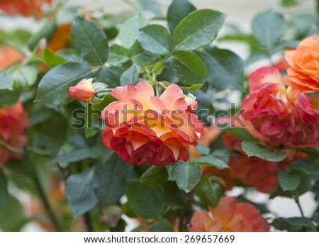 bush rose - stock photo