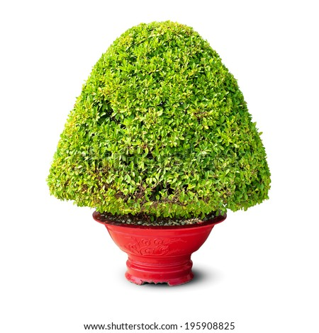 Bush tree in pot isolated on white background. Green potted plant in vase  - stock photo