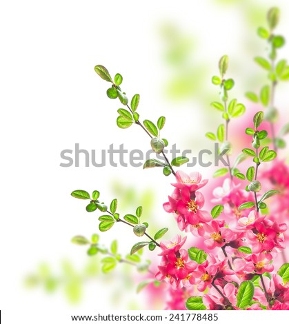 Bush with bright pink flowers, green leaves and young  twigs on white background - stock photo