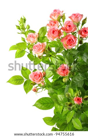 Bush with pink roses and green leaf isolated on white background. Close-up. Studio photography. - stock photo