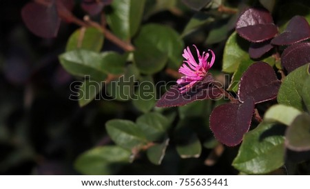Bush purple leaves pink flower photograph stock photo download now bush with purple leaves and pink flower photograph of a bush with green and purple mightylinksfo