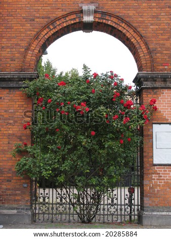 Bush with roses in an arch of a brick house - stock photo