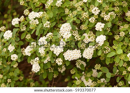Bush small white flowers on branches stock photo royalty free bush with small white flowers on a branches note shallow depth of field mightylinksfo
