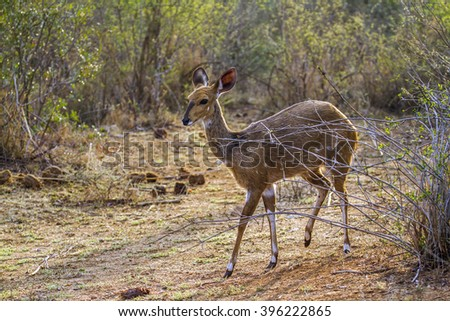 Bushbuck in Kruger national park, South Africa ; Specie Tragelaphus sylvaticus family of bovidae - stock photo