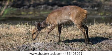 Bushbuck ( Tragelaphus Scriptus) Kruger National Park, South Africa - stock photo
