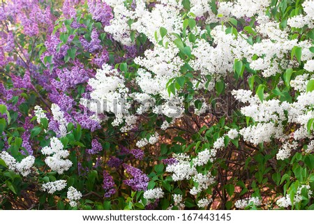 bushes of a blooming spring lilac - stock photo