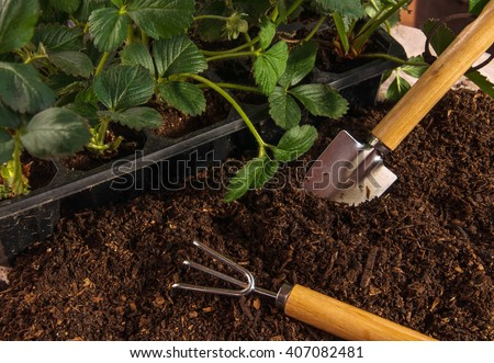 Bushes of strawberry in box, prepared ground and small garden tools with wooden handles (spatula and rake). Gardening concept. - stock photo