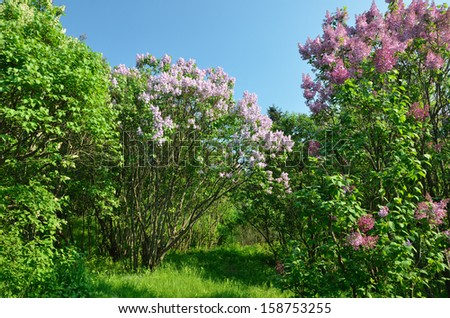 Bushes of Syringa are flowering in the middle of the spring green park. - stock photo