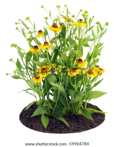 """Bushes  of yellow  """"Coreopsis grandiflora"""" flowers on the bed . Isolated on white. - stock photo"""