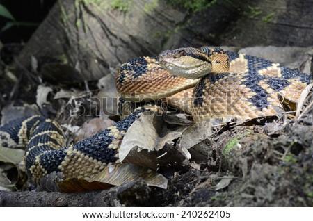 Bushmaster (Lachesis muta) - stock photo