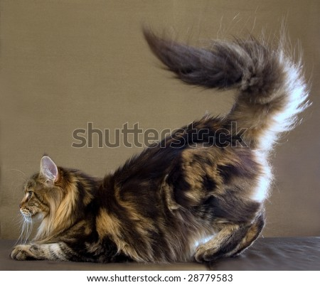 Bushy tail of Maine Coon brown tabby on bronze background - stock photo