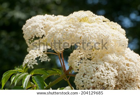 Bushy white flowers of elderberry tree, sambucus - stock photo