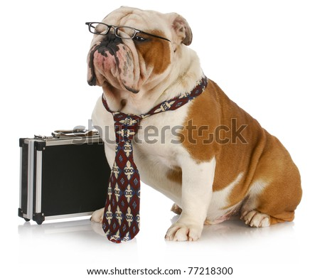 business dog - english bulldog male wearing tie and glasses sitting beside briefcase - stock photo