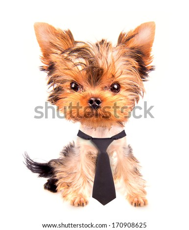 business dog with tie on a white - stock photo