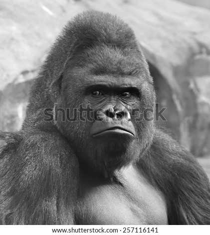 Bust portrait of gorilla male, severe silverback, on rock background. Menacing side look of great ape, most dangerous and biggest monkey of world. The chief of gorilla family in black and white image.