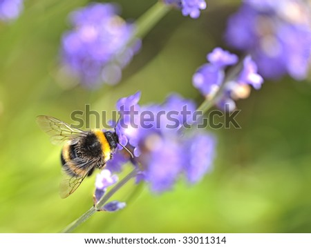 Busy Bee collecting nectar from lavender flowers. - stock photo
