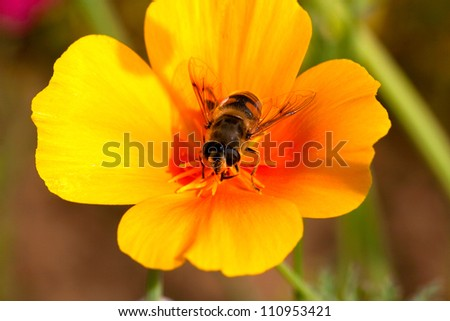 Busy bee getting pollen from a yellow flower