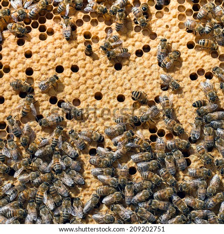 Busy bees, apis mellifera closeup on frame in beehive. Apiculture. Honeycomb visible. - stock photo