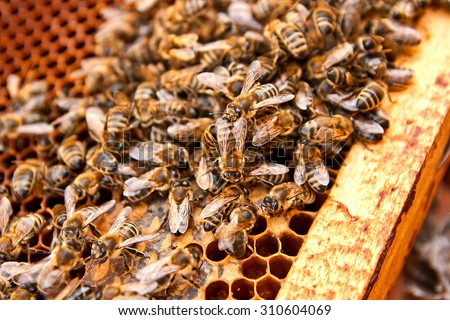 Busy bees, close up view of the working bees on honeycomb. Bees close up showing some animals and honeycomb structure.