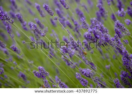 busy bees pollinate the flowers of a lavender field