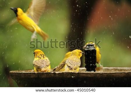 Busy bird bath - stock photo
