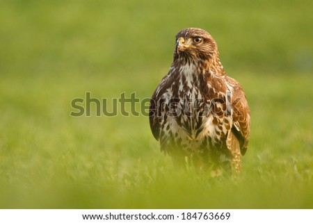 Buteo buteo sitting in the spring grass - stock photo