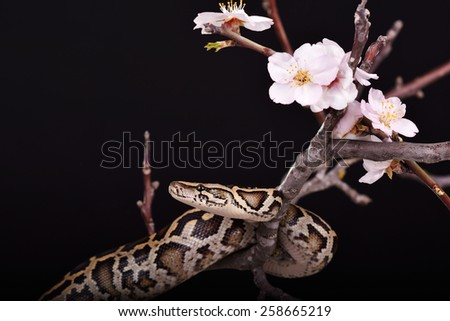 butter ball royal python moorish viper boa snake on a branch with flowers on dark background - stock photo