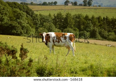 Buttercup Cow Pasture - stock photo