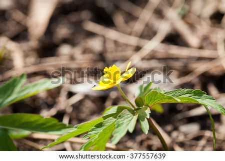 Buttercup plant with flowers in its natural habitat - stock photo