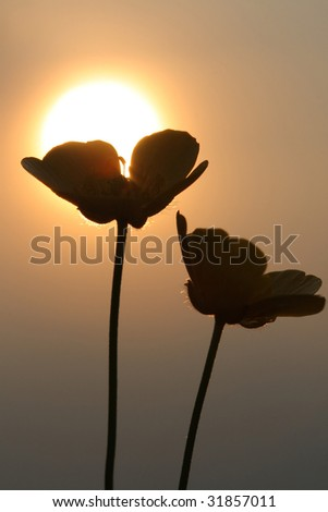 Buttercup silhouette in sunset - stock photo