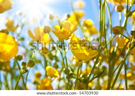 buttercup. yellow flower - stock photo
