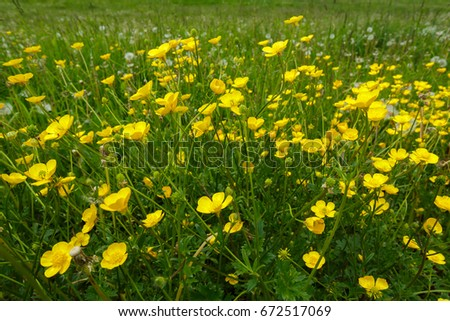 Buttercups in the Meadow