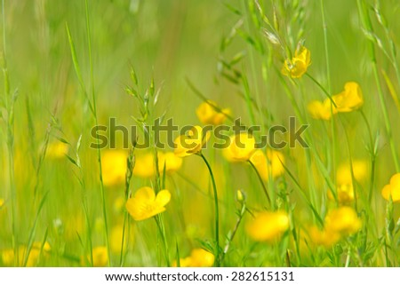 Buttercups, Ranunculus acris, with soft focus, bokeh and diffused background in a spring meadow , near Painswick, The Cotswolds, Gloucestershire, United Kingdom                       - stock photo